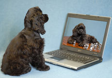 Puppy looking at computer. American cocker spaniel puppy looking at image of herself in computer Royalty Free Stock Photos