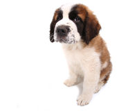 Puppy Looking Cute and Sad on White Background Sit Stock Photos