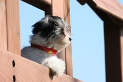 Puppy looking into the distance. Small dog in a playground looking into the wind royalty free stock photo
