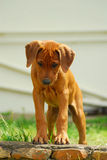 Puppy looking down. Full body of a cute little Rhodesian Ridgeback hound dog puppy standing at the edge of a brick wall and looking down outdoors Stock Photos