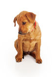 Puppy looking down Royalty Free Stock Photos