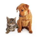 Puppy looking down at a kitten. An eight week old tan puppy looking down at a small kitten Royalty Free Stock Image