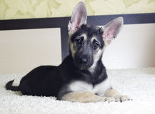 Puppy looking Royalty Free Stock Photos