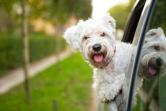 Puppy looking out the car window. Maltese puppy looking out the car window Stock Image