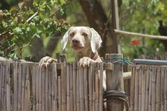 Puppy Looking Over Fence stock image
