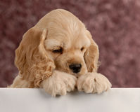 Puppy looking over foreground royalty free stock photography