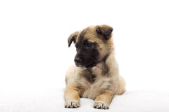 Puppy looking sideways Royalty Free Stock Photo