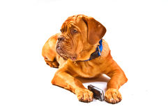 Puppy looking up. Lovely Puppy of Dogue De Bordeaux with Cell Phone royalty free stock images