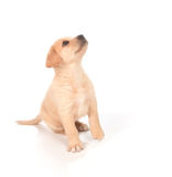 Puppy looking up Royalty Free Stock Image