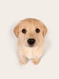 Puppy looking up Stock Photography