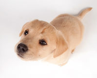 Puppy looking up Royalty Free Stock Photo