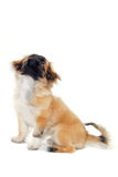 Puppy is looking up. Royalty Free Stock Photos