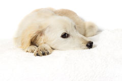 Puppy looking Royalty Free Stock Photo