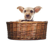 Puppy looks in the basket Stock Photos