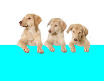 Puppy looks Royalty Free Stock Images
