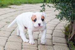 The puppy is lost. Funny nice red white coat American Bulldog puppy is walking on nature. Funny nice red white coat American Bulldog puppy is walking on the road Stock Photos