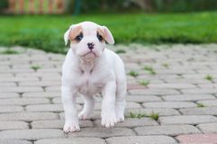 The puppy is lost. Funny nice red white coat American Bulldog puppy is walking on nature. Funny nice red white coat American Bulldog puppy is walking on the road Royalty Free Stock Photos