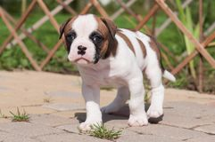 The puppy is lost. Funny nice red white coat American Bulldog puppy is walking on nature. Funny nice red white coat American Bulldog puppy is walking on the road Stock Image