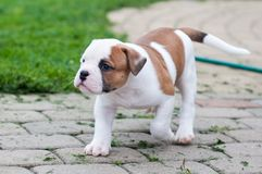 The puppy is lost. Funny nice red white coat American Bulldog puppy is walking on nature stock photography