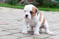 The puppy is lost. Funny nice red white coat American Bulldog puppy is walking on nature stock images