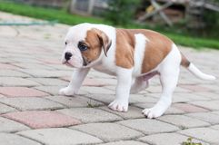 The puppy is lost. Funny nice red white coat American Bulldog puppy is walking on nature royalty free stock images