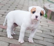 The puppy is lost. Funny nice red white coat American Bulldog puppy is walking on road stock photography