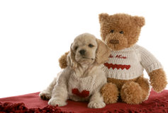 Puppy love. American cocker spaniel puppy being loved by stuffed teddy bear on white background Stock Photography