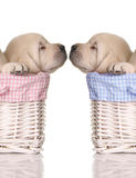 Puppy love royalty free stock photo