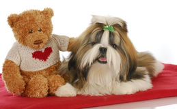 Puppy love. Teddy bear comforting adorable shih tzu puppy on red blanket Royalty Free Stock Photos