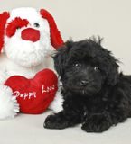 Puppy Love. Cute Black Malti-Poo puppy laying with a stuffed puppy and a heart that says Puppy Love Royalty Free Stock Images