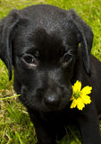 Puppy Love. A black lab with a yellow dasiy Royalty Free Stock Image
