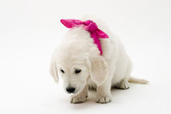 Puppy love. Sweet retriever puppy stock photo