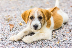 Portrait of puppy dog Royalty Free Stock Photo