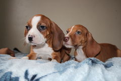 Puppy Love. Beagle puppies 14 weeks old Stock Image