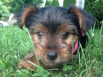 Puppy love. Closeup of Yorkshire terrier puppy Stock Photos