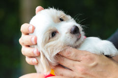 Puppy in love hand. Royalty Free Stock Images