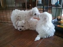 Puppy love. Maltese puppies showing love and affection Stock Photography