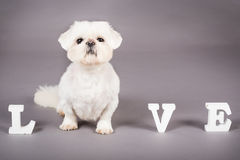Puppy Love. Picture of a pekingese dog standing in the word love Stock Photography
