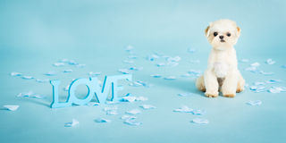 Puppy Love. Picture of a small pekingese puppy on a blue background Royalty Free Stock Photography