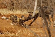 Puppy love. Rare African wild dog pup grabbing food from mother. Kruger. South Africa Royalty Free Stock Image
