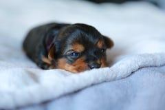 Puppy love. Yorkshire terrier puppy Stock Photo