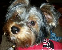 Puppy love. Yorkshire terrier named Loki Royalty Free Stock Photo