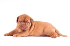 Puppy Lying Royalty Free Stock Images