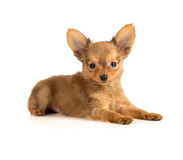 Puppy lying Royalty Free Stock Photos