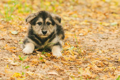 Puppy lying on autumn leaves Royalty Free Stock Image