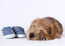 Puppy lying beside baby shoes stock images