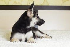 Puppy lying Royalty Free Stock Photo
