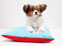 Puppy lying on a bed Stock Images