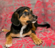 Puppy lying on the coverlet of the sofa Royalty Free Stock Images