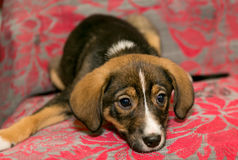 Puppy lying on the coverlet of the sofa Royalty Free Stock Photos